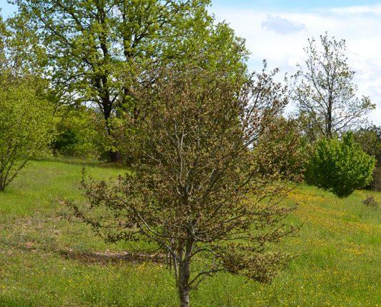 Dordogne - Trueffelbaum