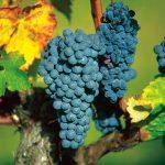 Dordogne Weinrebe