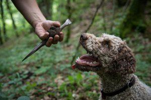 burgund-trueffelhund